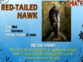 Animal Facts - Red-Tailed Hawk - English