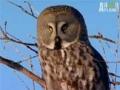 Owl Snipes a Vole - English
