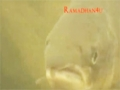 Salmon who fast too - Animal Instincts episode - English